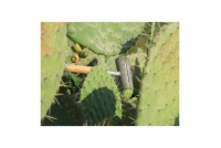 Helve for Prickly Pear Collector Fourth Depiction